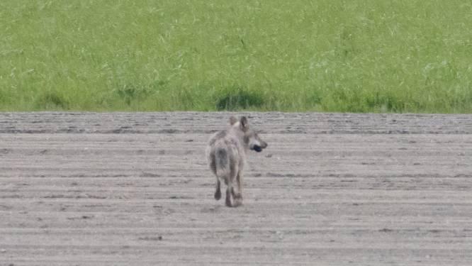 """Kalmthoutse wolf kwam uit Duitsland: """"Hij is ondertussen van de radar verdwenen"""""""