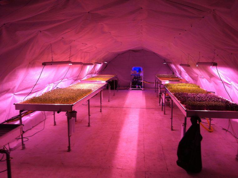 De 'metroboerderij' Zero Carbon Food in Zuid-Londen produceert dagelijks 700 doosjes kruiden en scheuten. Beeld dm