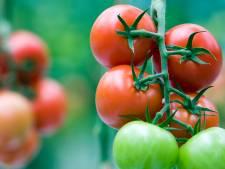 Onderzoek bevestigt virus in Westlandse tomatenkas