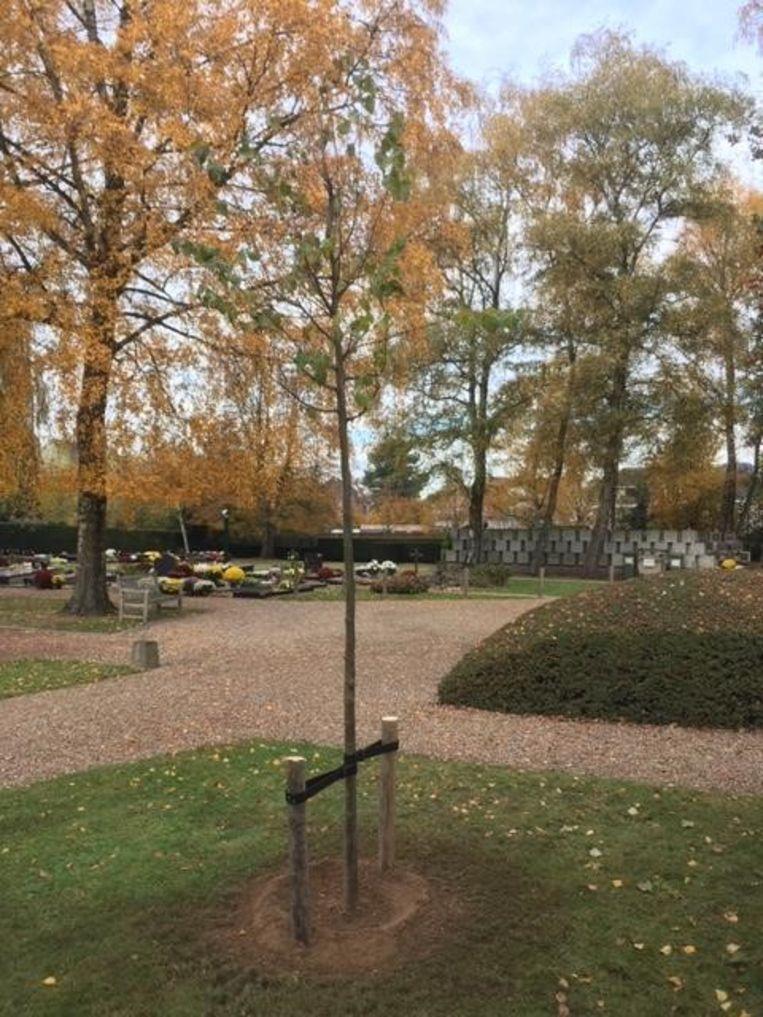 De vredesboom op de begraafplaats van Sint-Martens-Latem.