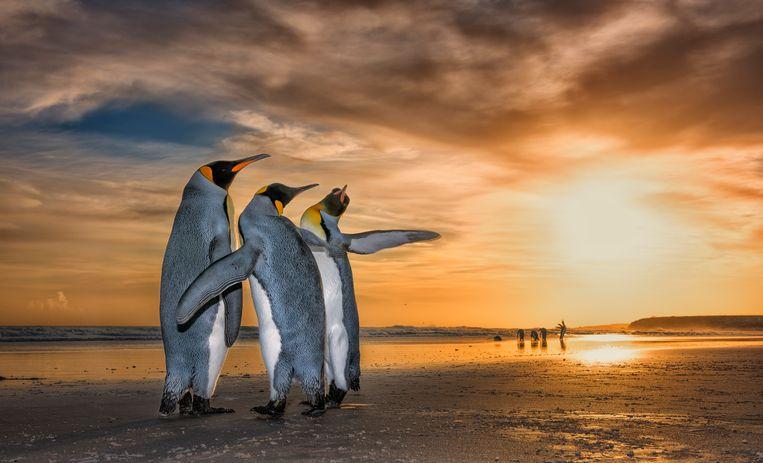 Three Kings by Wim Van Den Heever, South Africa  Twee mannelijke koningspinguins verleiden een vrouwtje met hun paringsdans op de Falklandeilanden.  Beeld  Wim Van Den Heever