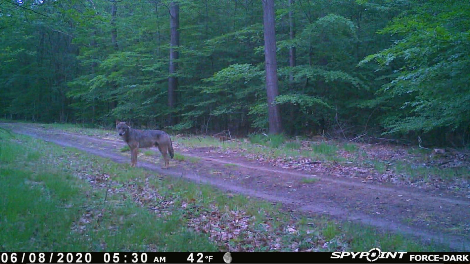 Wolf GW1261m.