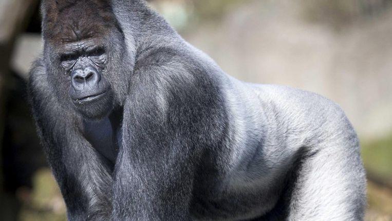 'Gorilla's kijken zoals mannen kijken die leiderschap willen tonen' Beeld Jerry Lampen / EPA