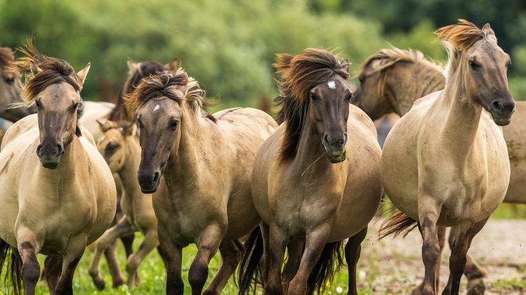 Konikpaarden in de Oostvaardersplassen Beeld Shutterstock