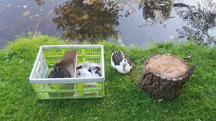 Zieke watervogels in het Stadspark van Kampen.