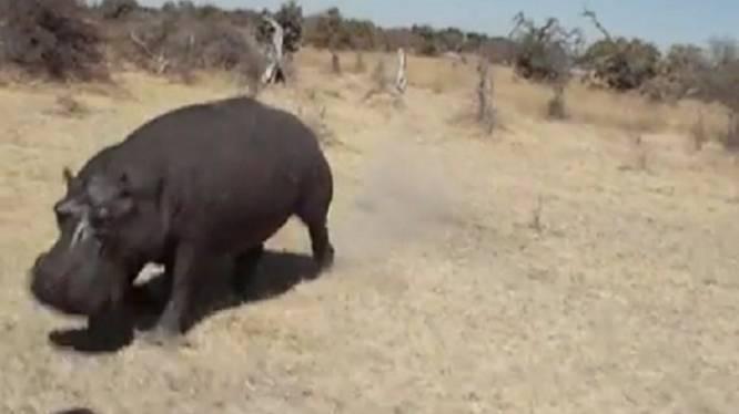 Nijdig nijlpaard ramt jeep met toeristen