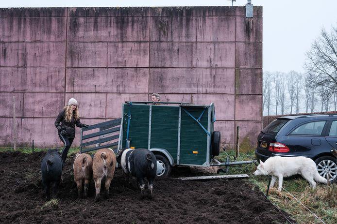 Varkens van Ellen Willems, vlak voordat er twee naar de slacht gingen.