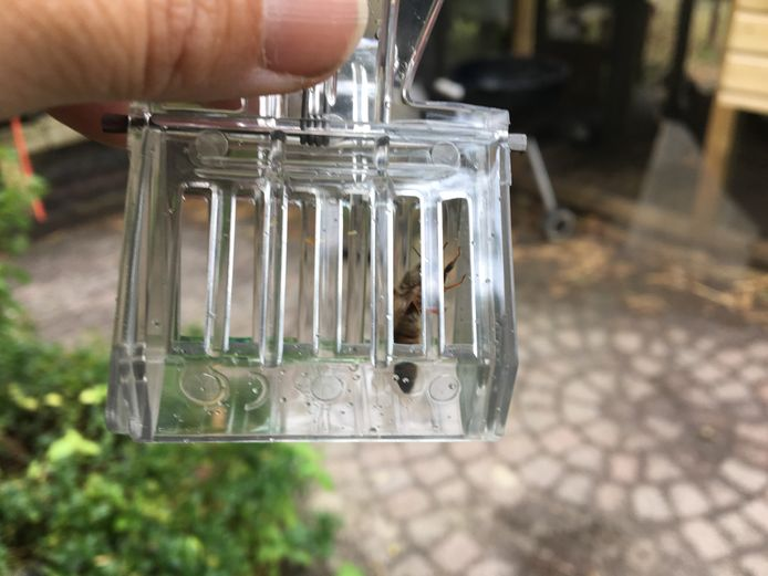 De koningin wordt met een klemmetje gevangen en overgeplaatst in een eigen bevruchtingskastje, samen met verzorgingsbijen. Na vier dagen mogen ze uitvliegen.