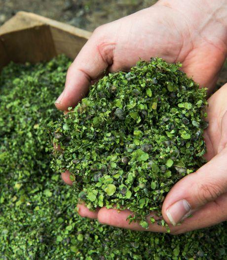 Eendenkroos moet voedselprobleem oplossen: 'Boordevol eiwit, groeit snel en is lekker'