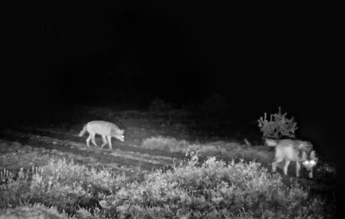 Natuurmonumenten | Een mannetjeswolf wandelt samen met wolvin op Zuid-Veluwe