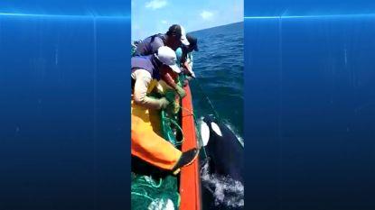 VIDEO. Vissers redden baby orka uit hun netten en die zegt dankjewel