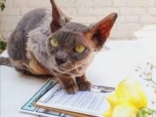 Wat de dierenarts betreft moet fokken van dit kattenras zo snel mogelijk verboden worden