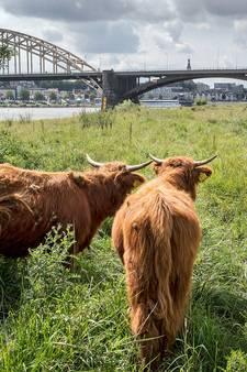 'Schotse hooglanders niet voeren, anders moeten ze naar de slager'