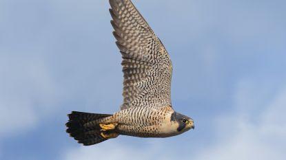 Roofvogelwandeling Sixtusboscomplexen