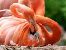 Flamingo's zorgen voor recordaantal kuikens in GaiaZoo