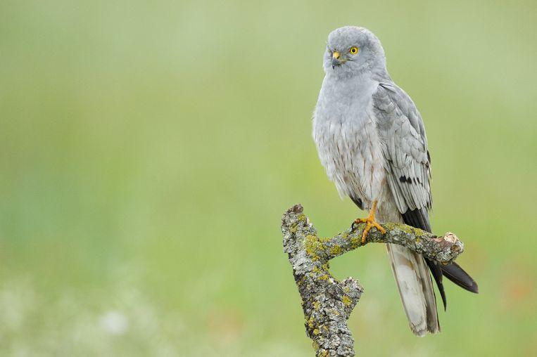 Grauwe kiekendief (Circus pygargus) Zeldzame broedvogel in akkers. Vooral in Groningen. Door intensieve (nest)bescherming behouden als broedvogel (rond de veertig paar). Heeft een voorkeur voor open akkerland met graan, luzerne en braakliggende stukken. Roofvogel. Jaagt onder meer op veldmuizen, kleine vogels, sprinkhanen, grote insecten. Beeld Getty