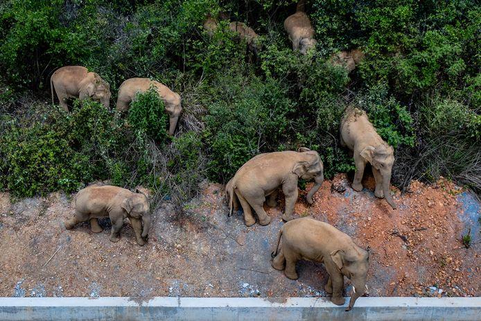 De kudde olifanten op wandel in de Chinese provincie Yunnan.
