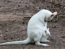 Vermiste albino-kangoeroebaby uit Duitse dierentuin mogelijk gestolen