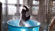 VIDEO: Gorilla amuseert zich in zwembadje