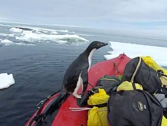 Pinguïn verrast poolreizigers op expeditie