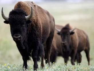 45.000 vrijwilligers melden zich om bizons te doden bij Grand Canyon