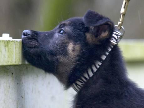 Twentse knuffelpup Battje vangt nu boeven als stoere politiehond