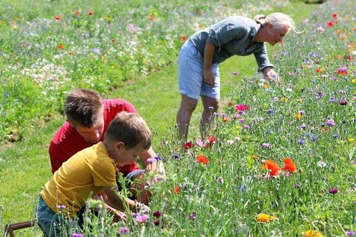 Leen-Jan Bontenbal uit Vierpolders is met zoontje Luuk druk aan het plukken in een van de rijen veldbloemen van Leijnes Plukland in Hellevoetsluis. Op de achtergrond eigenaresse Nanine Vijfvinkel.