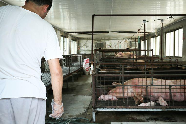 Varkensstallen worden gereinigd om de verspreiding van mogelijke virussen tegen te gaan. Beeld Elke S.