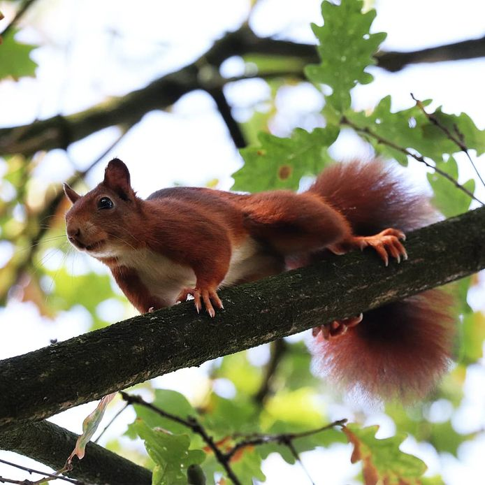 Carine Gathier spotte deze eekhoorn in Arnhem.