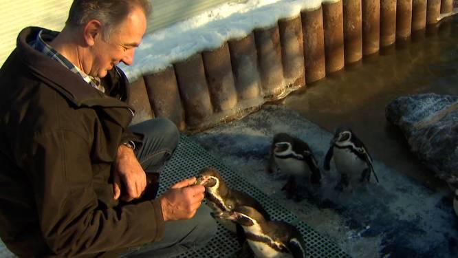 Noël uit Pelt heeft acht pinguïns op bezoek