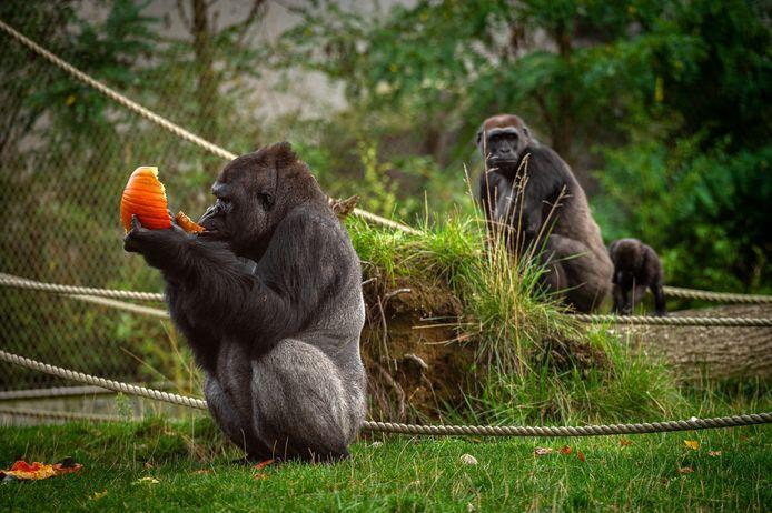 De gorilla's krijgen er voor de zomer van 2020 een kleine babygorilla bij