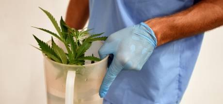 """Les effets du cannabis sur la douleur ne sont pas prouvés: """"Une image faussement rassurante"""""""