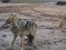 """Sept loups sur les images de vidéosurveillance: """"Il y avait en fait 5 louveteaux"""""""