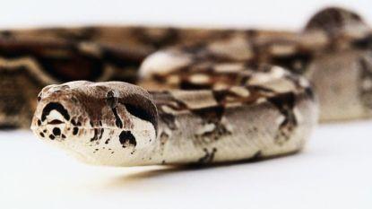 Man ontdekt ontsnapte slang van de buren in zijn dakgoot