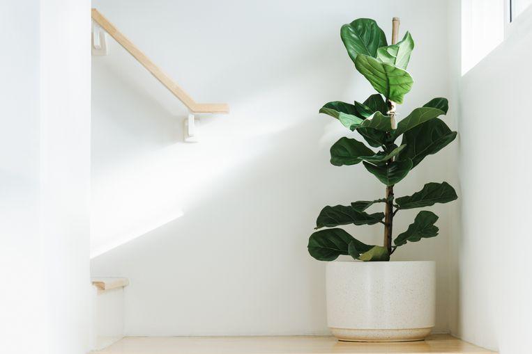 Gaan goedkope kamerplanten sneller dood dan dure? Beeld Getty Images/iStockphoto