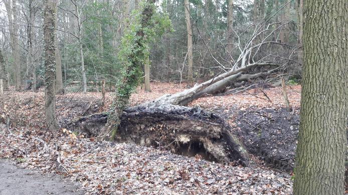 Een gesneefde boom in de Veluwse bossen.