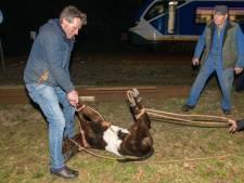 Vermist kalfje op de Veluwe is gevonden! Jong dier vlucht het spoor op, conducteur vliegt het om de nek