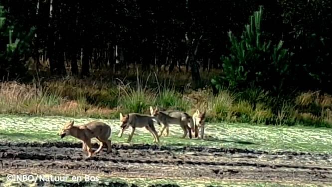 """Wat de wolf eet? Ree, everzwijn, schaap en haas: """"Helaas voor 14 procent ook vee"""""""