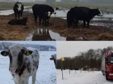 Verwaarloosde koeien en schapen weggehaald van diverse plekken in Westland