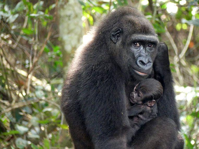 Ook zonder toelichting is dit een bijzonder beeld, van een gorillamoeder en haar pasgeboren jong, in het Bateke Plateau National Park in het zuidoosten van Gabon (centraal Afrika). Maar hier is meer aan de hand. Deze gorillababy is een unicum, want de eerste in het wild geboren gorilla met twee ouders die in gevangenschap opgroeiden (in Europa).  Beeld AFP