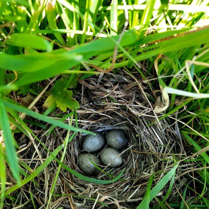 Nest met eieren van de veldleeuwerik.