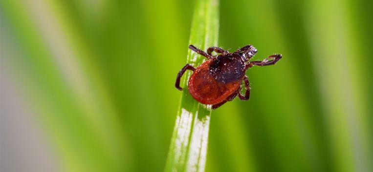 Gezondheid: álles wat je moet weten over het minuscuul beestje: de teek