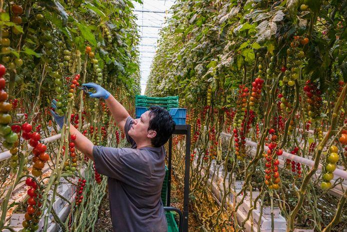 Tomatenplukkers mogen niet op het terrein van hun bedrijf wonen, want als ze hun baan verliezen, verliezen ze ook hun huis.