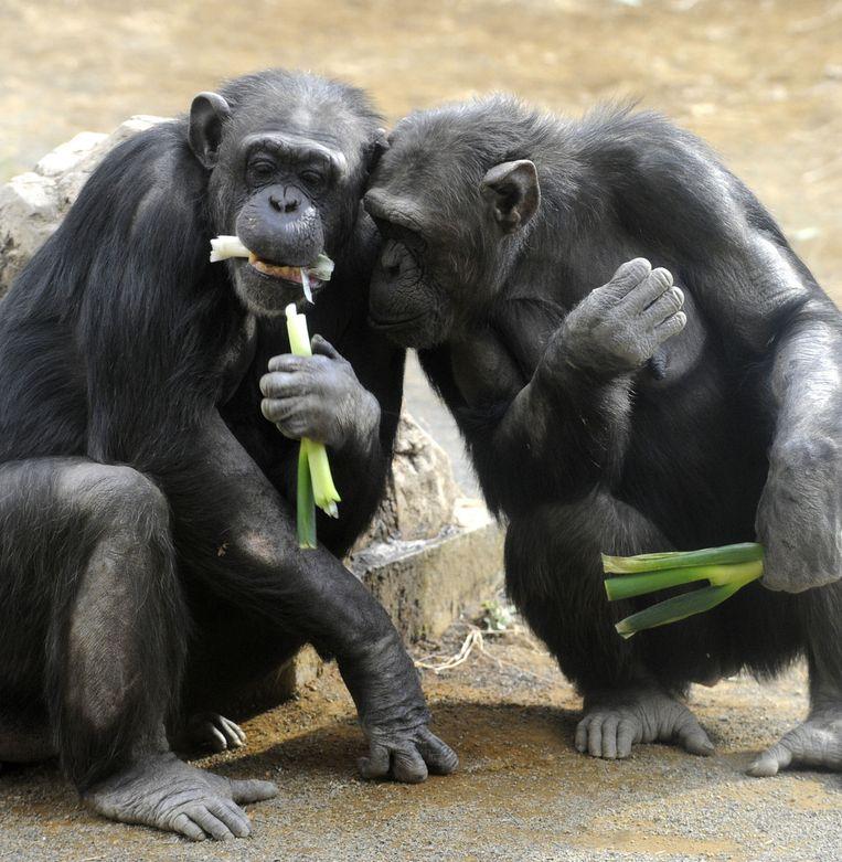 Twee chimpanzees genieten van een hapje prei in de dierentuin van Tokyo in Japan. Beeld AFP