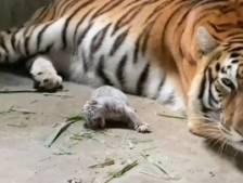 Naissance rare d'un adorable tigre du Bengale blanc au Nicaragua