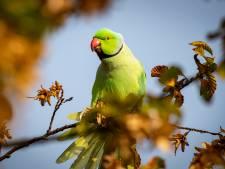Bron van papegaaienziekte in regio Noord- en Oost-Gelderland deels bekend