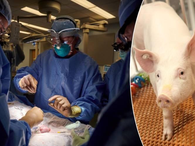 """Is een wachtlijst voor een niertransplantatie binnenkort verleden tijd? """"Van alle dieren is het varken de meest logische orgaanleverancier voor de mens"""""""