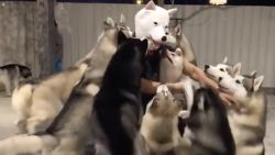 "VIRAL3 Feel Good Friday: Husky's verwelkomen enthousiast speciale ""hond"" in de roedel"