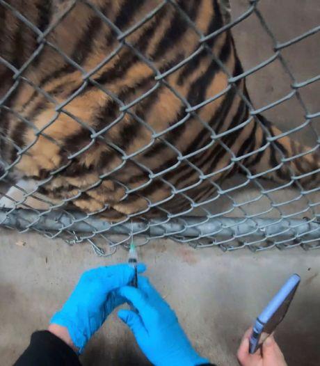 Les animaux reçoivent le vaccin COVID-19 au zoo d'Oakland
