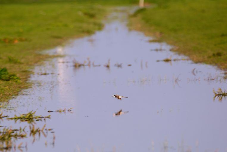 Plas-dras. Boeren zetten met overheidssubsidie greppels in het broedseizoen onder water voor weidevogels.   Beeld Herman Engbers